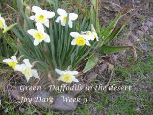 Daffodils - Green in the Desert