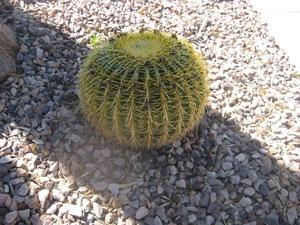 Round Barrel Cactus