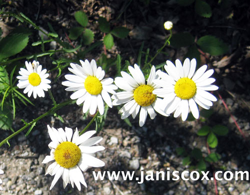 week-27,-28-white-daisies