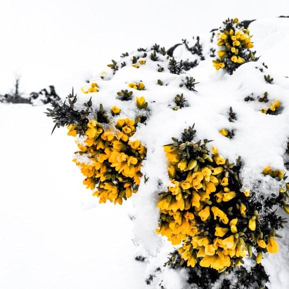 Gorse in Snow