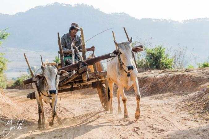 Wagon and kow