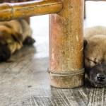 dogs in mai chau