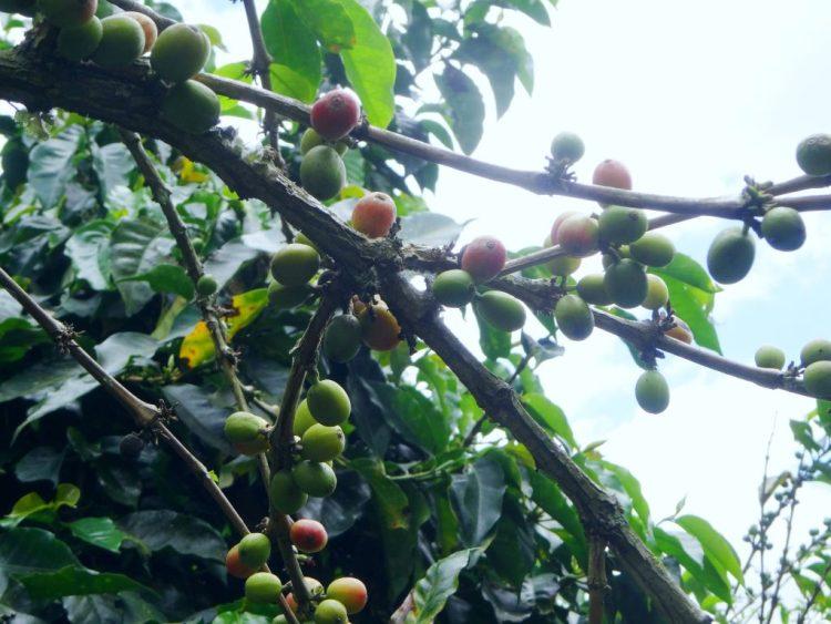 Kaffee tour Salento Colombia