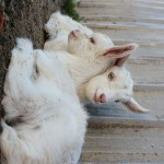 The kids, Jannei Goat Dairy