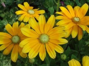 Gloriosa Daisy 'Prairie Sun'