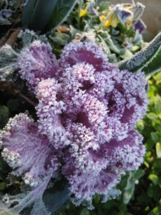 kale covered with frost