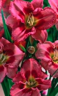 daylily_Always-Afternoon