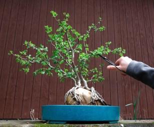 hawthorn_bonsai 2