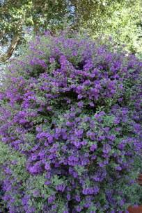 prostanthera_ovalifolia_Variegata