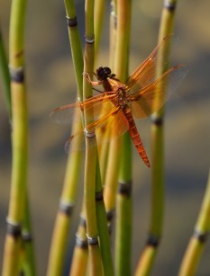 Flame_Skimmer_dragonfiy-mating