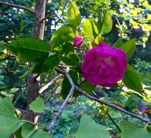 Climbing_Zepherine_Drouhin_rose