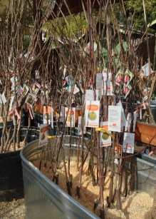 Bare Root Fruit Trees in bins with sawdust
