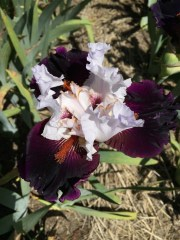bearded_iris_closeup.1600