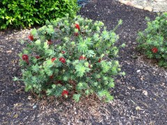 callistemon_Little_John.1600