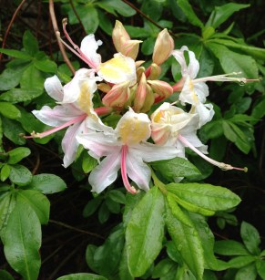 rhododendron_occidentale3