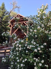 philadelphus_felton_covered_bridge