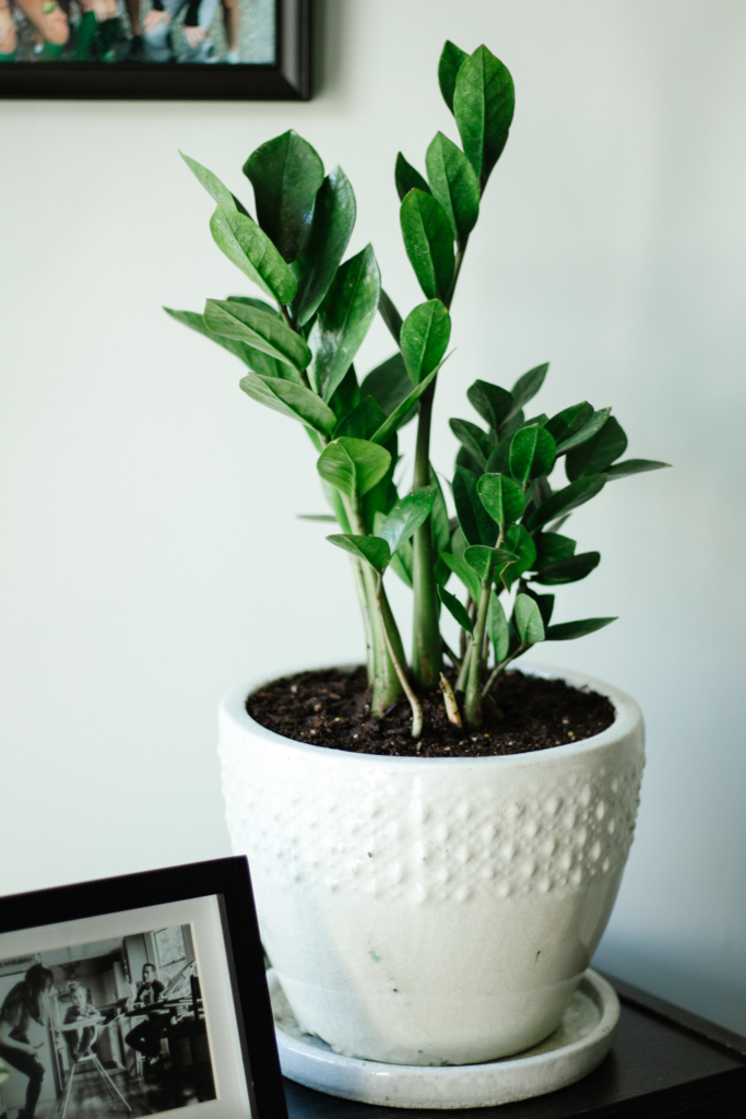 ZZ Plant - Easy to Care for Indoor Plants