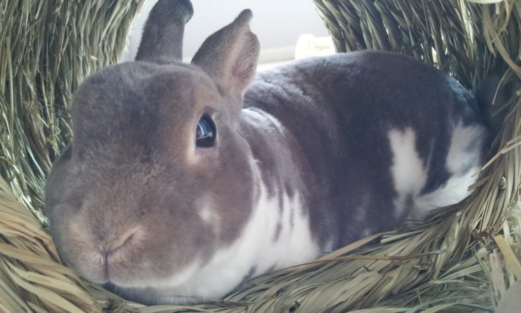 Sabine chilling out in a timothy hay tunnel
