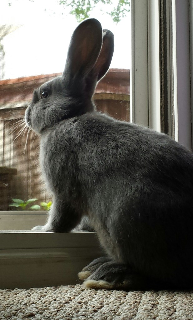 A big gray rabbit is staring longingly outside through a screen door
