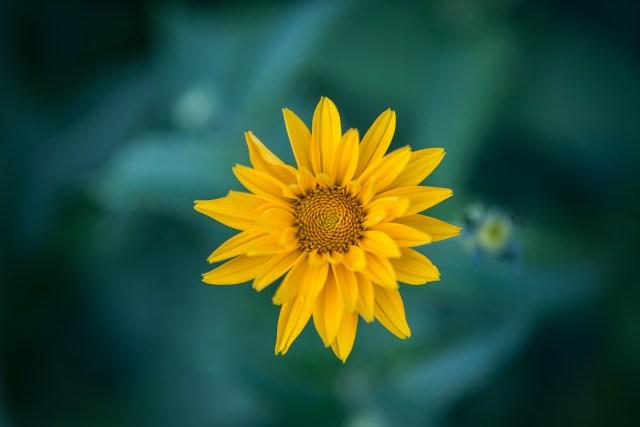 Eine kleine Sonnenblume