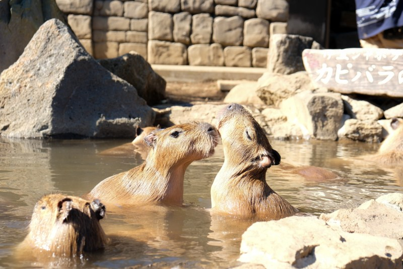 Capybara Onsen in Japan Izu Shaboten Zoo