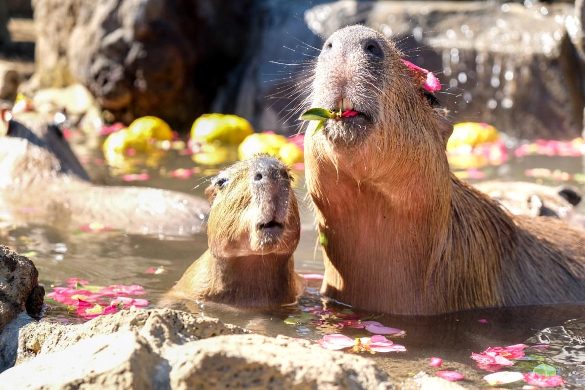 Capybara Onsen in Japan Izu Shaboten Zoo