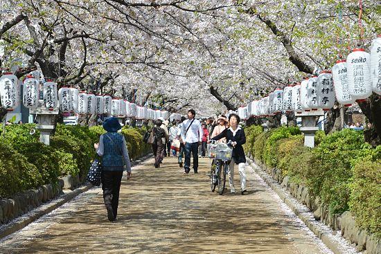 Cherry Blossom Report 2012 Kamakura Report
