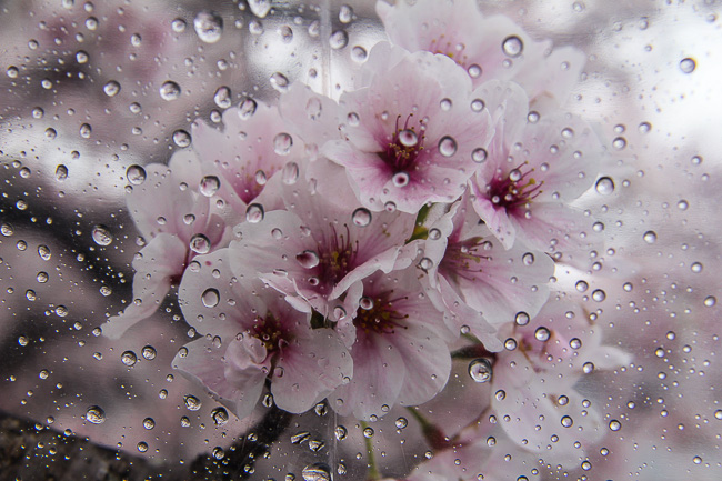 Raindrops Falling On Flowers Wallpaper Cherry Blossom Report 2014 Kyoto Report