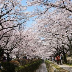 Diagram The Parts Of Cherry Blossom Tree Club Car Battery Wiring Kyoto Travel Philosopher S Path Walking Trail Famous For Blossoms