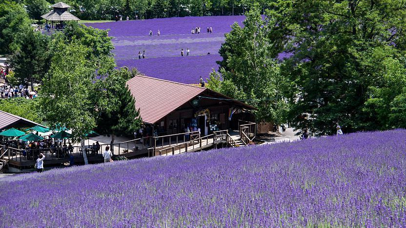 Furano Travel Flower And Lavender Fields