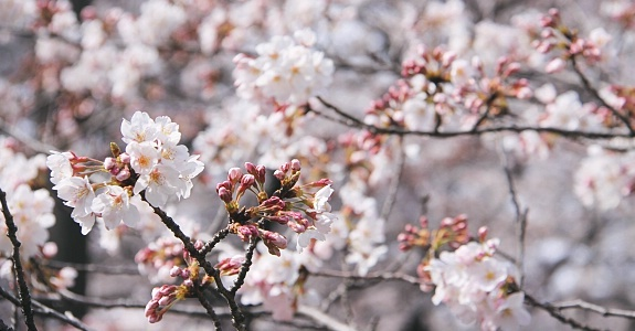 Falling Cherry Blossoms Wallpaper A Beginner S Guide To Cherry Blossom Viewing When Do The