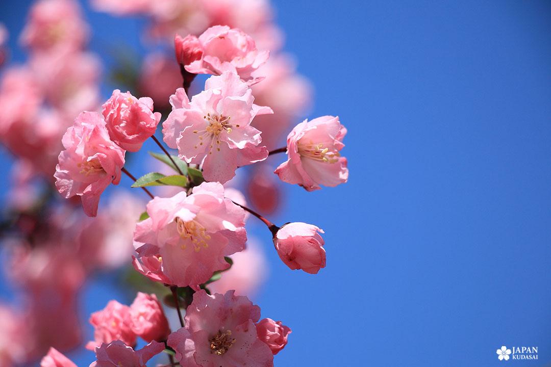 zoom sakura cerisier japonais printemps à tokyo