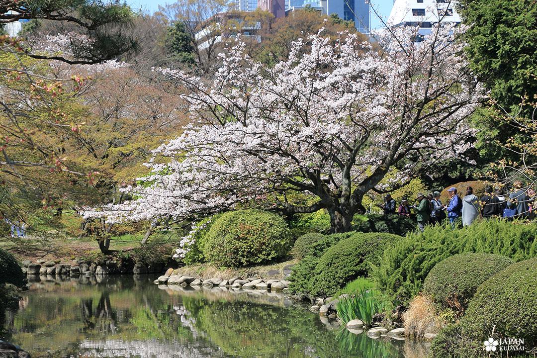 cerisier blanc au parc shinjuku