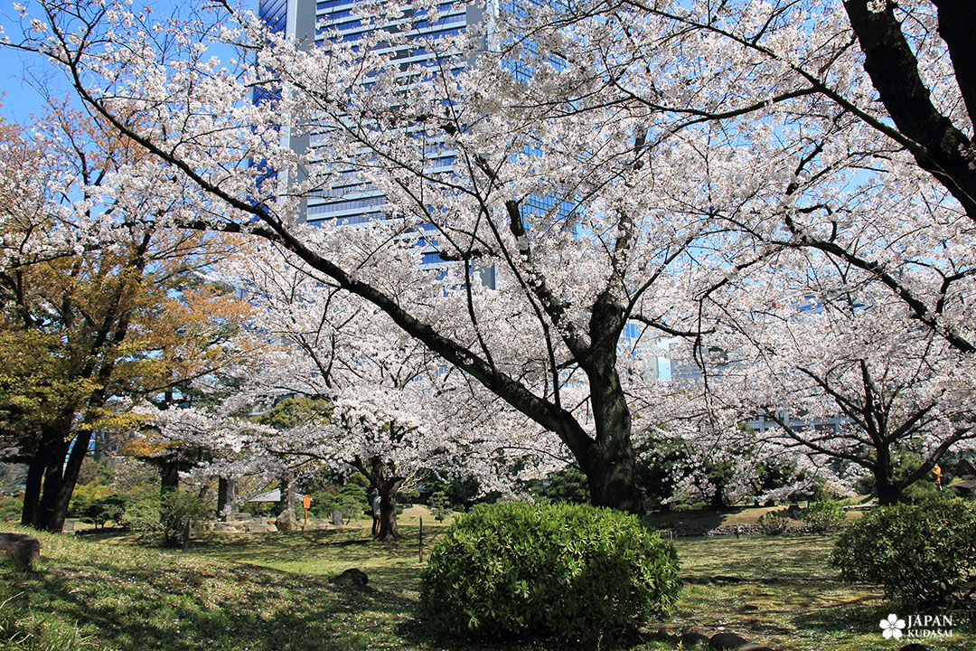 parc sakura cerisier japonais tokyo au printemps