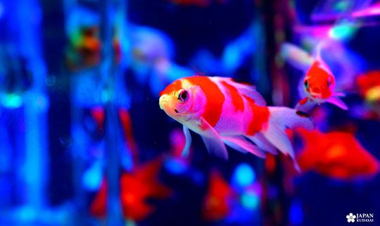 art-aquarium-kyoto-nijo (6)