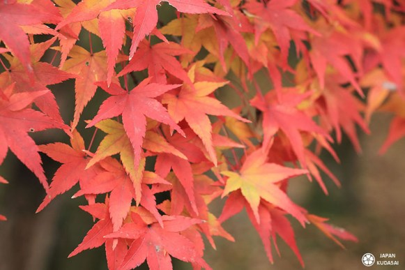 feuilles rouges nature érables japonais