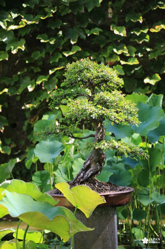 buis bonsai bambouseraie en cévennes anduze
