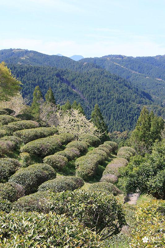 Champs de thé à Wakayama sur les sentiers de Kumano Kodo