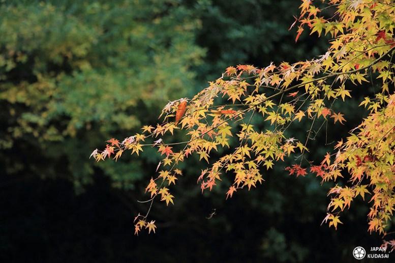 Zoom sur des feuilles d'érable