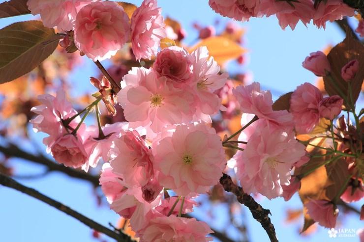 zoom sakura place wilson dijon floraison avril