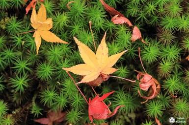 momiji automne japon tapis de mousse dans temple