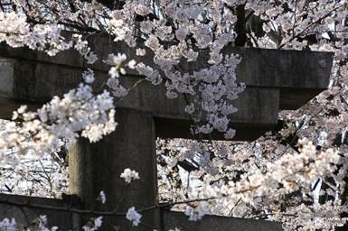 torii et sakura