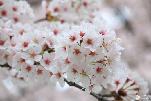 circuit de 3 semaines pour un voyage au japon au printemps