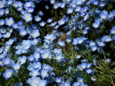 Hemophilia blue flowers in Hitachi Seaside Park in Ibaraki, Japan
