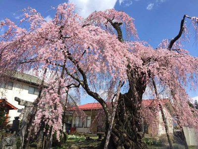 Sakura Cherry Blossoms in Japan