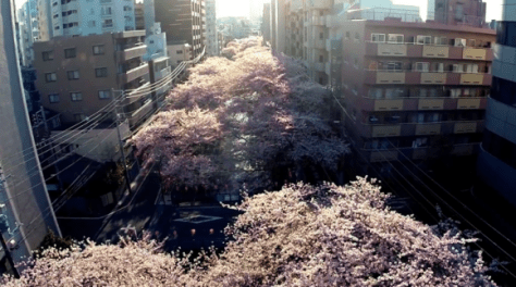 sakura megurogawa