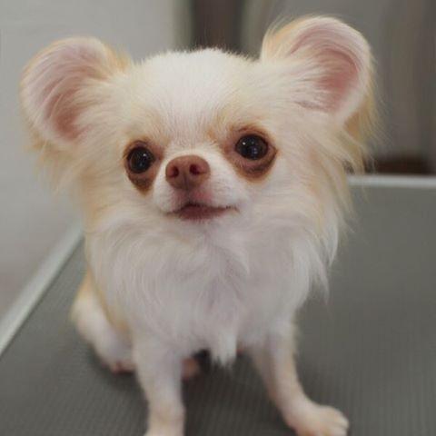 dog_mouse_ears 1
