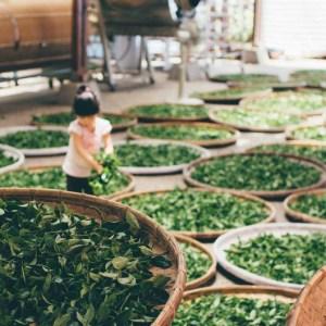 matcha tea health japan - japan nakama