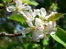 """Apple blossom """"Temptation"""""""