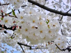 "Cherry blossoms ""education, fleeting beauty"""